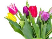 Tulip flower — Stockfoto