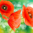 Close up of red poppy — Stock Photo