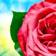 rose flower — Foto Stock