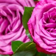 Foto Stock: Rose flower