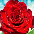 Stockfoto: Rose flower