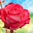 Rose flower — Stock Photo #32761423