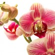 Orchid isolated on white background — Stock Photo #37133173