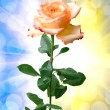 Rose flower — Stockfoto #38673123