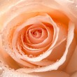 Rose flower — Stock fotografie