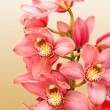 Stockfoto: Orchid flower