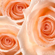 Rose flower — Stock Photo #41444723