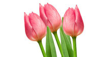 Tulip flowers — Stockfoto