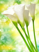 Calla lily — Stock Photo