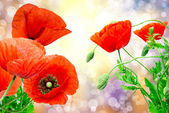 Red poppy — Foto Stock