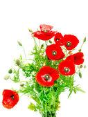 Red poppy — Foto Stock