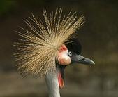 Szary koronowany żuraw — Zdjęcie stockowe