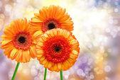 Close up of gerber flower — Stock Photo