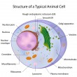 A typical animal cell, labeled - Stock Vector