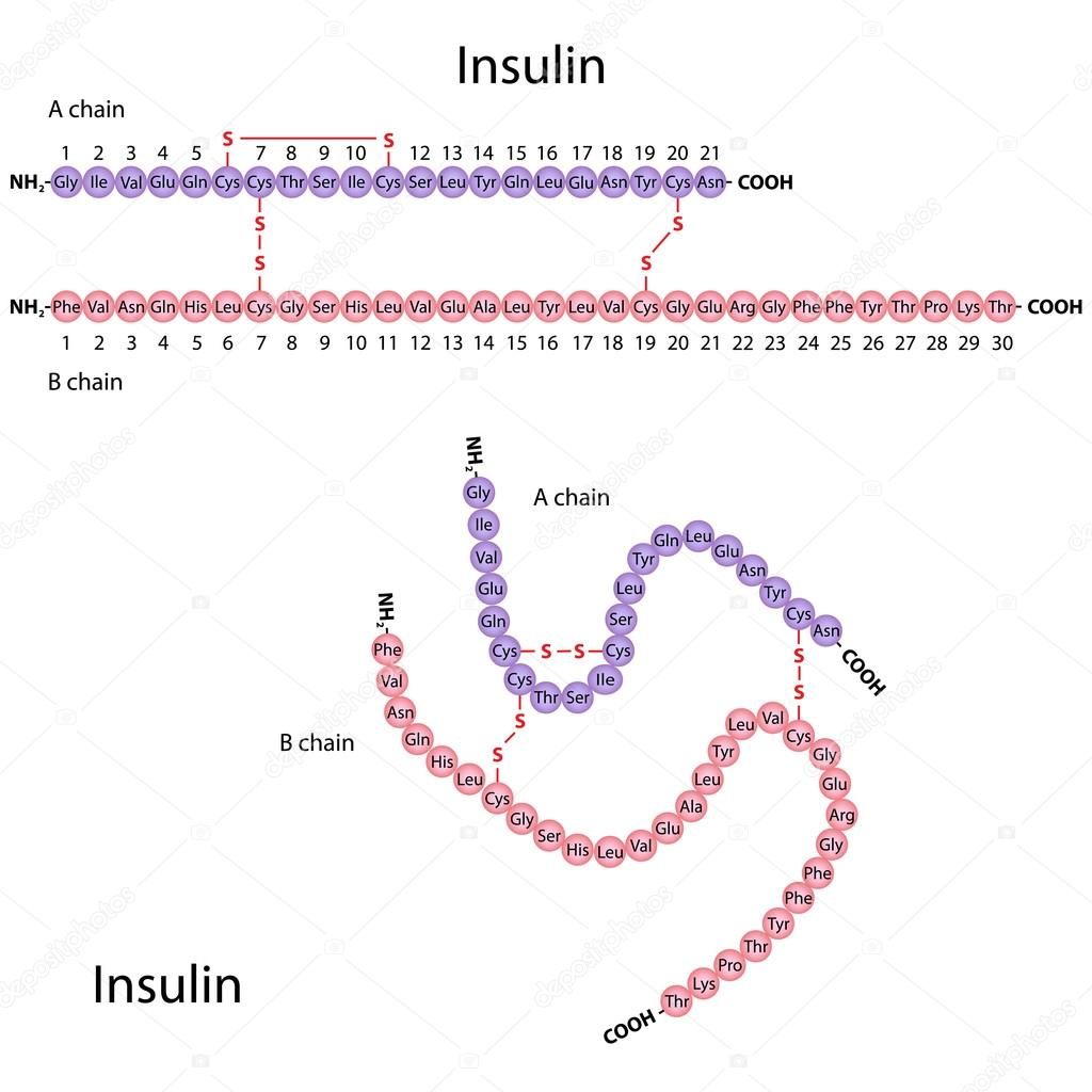 Structure of human insulin, eps8 — Stock Vector #13661534