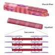 Structure of skeletal muscle fiber, eps10 — Stockvectorbeeld