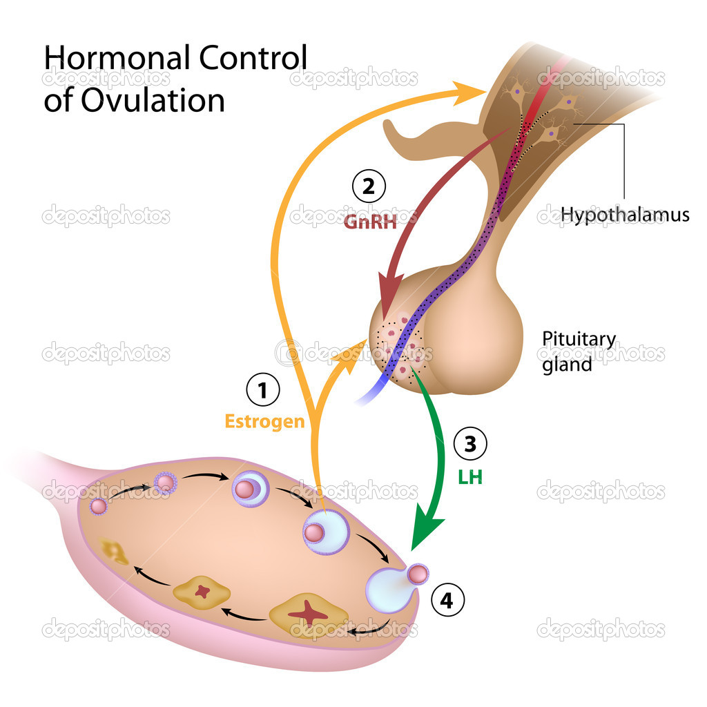 Hormonal control of ovulation, eps10 — Stock Vector #14028132