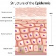 Epidermis of the skin - Vettoriali Stock 