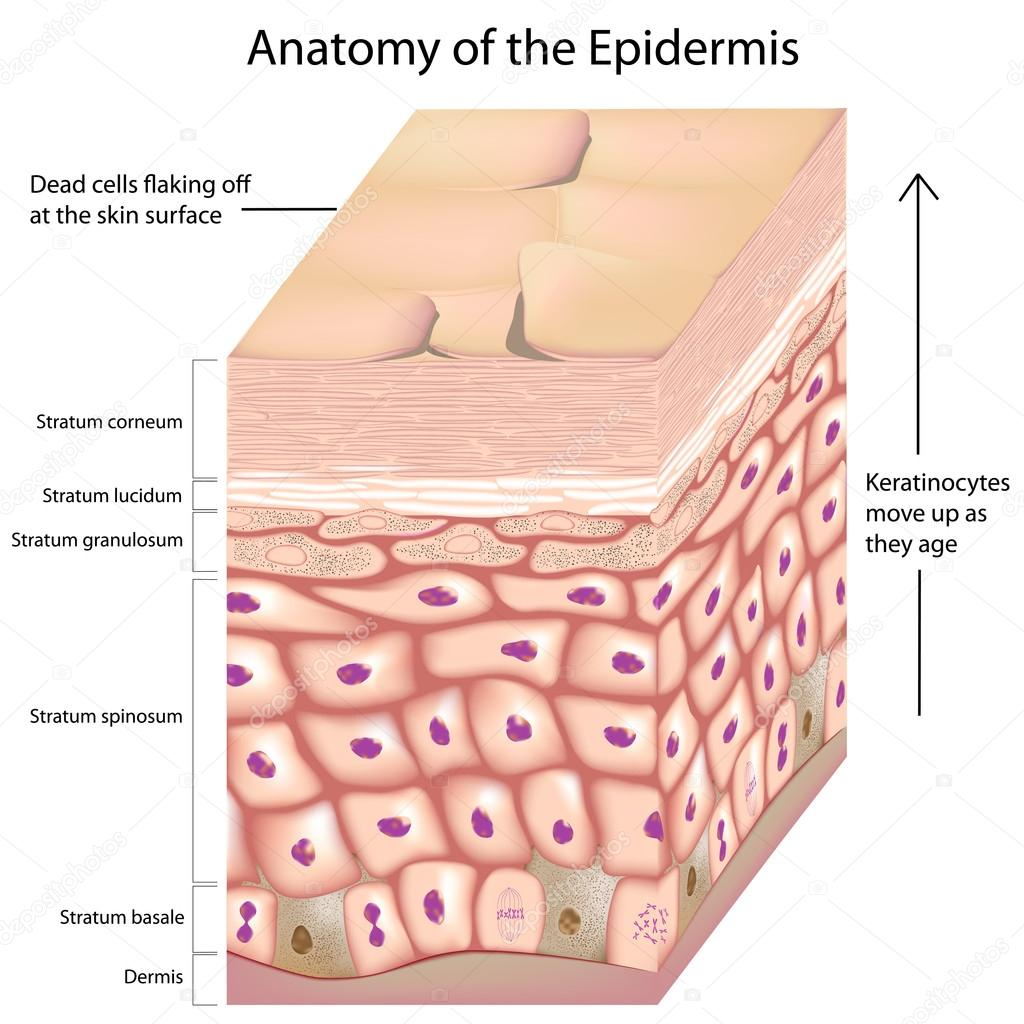 3d Epidermis of the skin, eps8 — Stock Vector #19155281