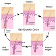 Hair growth cycle - Stok Vektör