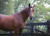 Cavalo árabe, olhando para a câmera — Foto Stock
