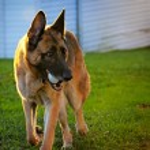 German Shepherd Dog Playing Catch — Stock Photo