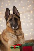 Christmas German Shepherd Dog — Stock Photo