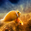 Underwater Clownfish and Anemone - Foto Stock
