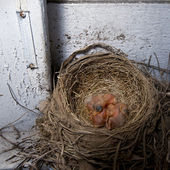 Baby roodborstjes in nest — Stockfoto