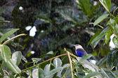 Niebieski bellied rolki w deszczu — Zdjęcie stockowe