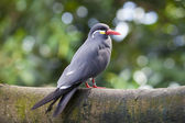 Inca Tern Larosterna inca — Photo