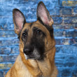 Foto Stock: GermShepherd Dog Blue Background