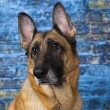 Stock Photo: GermShepherd Dog Blue Background