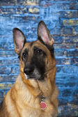 German Shepherd Dog Blue Background — Foto de Stock