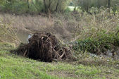 Uprooted tree — Stock Photo