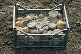Planting potatoes — Stock Photo