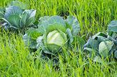 Organic farming — Stock Photo