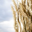 Stock Photo: Stalks of Wheat