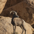 Desert bighorn sheep. — Stock Photo