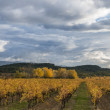 Autumn vineyard — Stock Photo