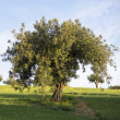 Stock Photo: Carob tree