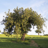 Carob tree — Stock Photo