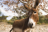 Catalonian donkey  — Stockfoto