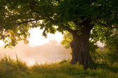 Oak tree in full leaf in summer standing alone — Stock Photo