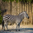 Zebra. — Stock Photo #17410057