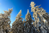 Trees covered with hoarfrost and snow in mountains — Stock Photo