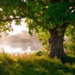 Oak tree in full leaf in summer standing alone — Stock Photo #49809171