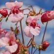 Himalayan balsam (impatiens gladulifera) — Stock Photo