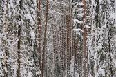 Snowy forest. — Zdjęcie stockowe