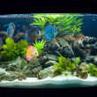 Stock Photo: Aquarium fishes
